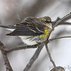 Yellow-rumped Warbler (Myrtle's)  <br /> City of Bridgeton <br /> St. Louis County, Missouri <br /> 1/23/2011