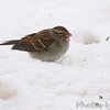 Chipping Sparrow <br /> City of Bridgeton <br /> St. Louis County, Missouri <br /> 1/23/2011