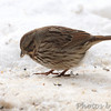Savannah Sparrow <br /> Bridgeton, Mo. <br /> 1/21/2011