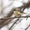 Yellow-rumped Warbler (Myrtle's)  <br /> Bridgeton, Mo. <br /> 1/31/2011
