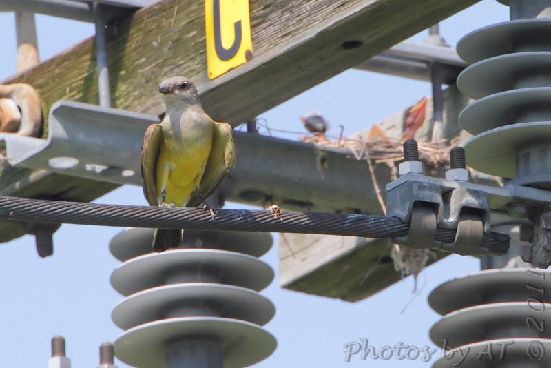 Western Kingbirds  <br /> West End of St. Charles Road at levee