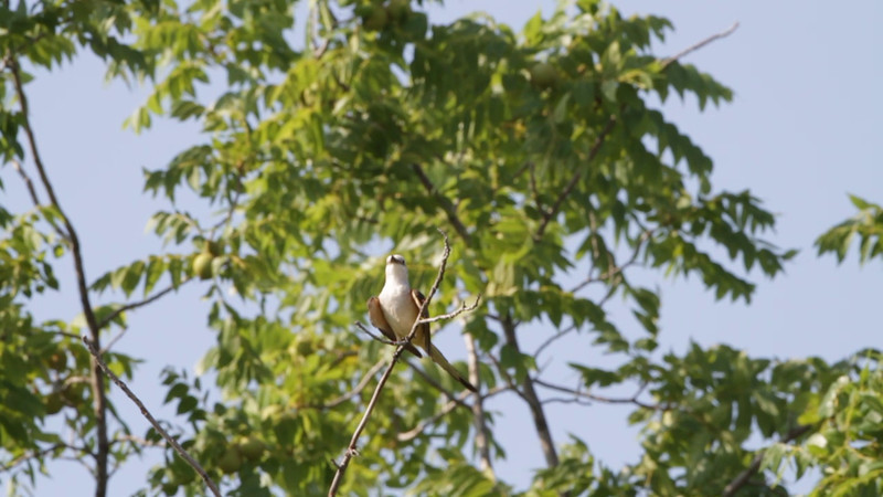 """Scissor-tailed Flycatcher <br> Hwy N just north of Hwy 40/64 <br> St. Charles County <br><br><span class=""""noShowSmart""""> <a href=""""/MyKeywords/Bird-Videos/n-gF9bt/i-8xb5pMR/A""""> <span style=""""color:yellow"""">Click here to open video in lightbox/full screen</span></a> </span>  <span class=""""noShowGallery""""> <a href=""""/Birds/Birding-2011-July/2011-07-02-Flycatchers/i-8xb5pMR/A""""> <span style=""""color:yellow"""">Click here to open video in lightbox/full screen</span></a> </span>"""