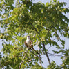 "Scissor-tailed Flycatcher <br> Hwy N just north of Hwy 40/64 <br> St. Charles County <br><br><span class=""noShowSmart""> <a href=""/MyKeywords/Bird-Videos/n-gF9bt/i-8xb5pMR/A""> <span style=""color:yellow"">Click here to open video in lightbox/full screen</span></a> </span>  <span class=""noShowGallery""> <a href=""/Birds/Birding-2011-July/2011-07-02-Flycatchers/i-8xb5pMR/A""> <span style=""color:yellow"">Click here to open video in lightbox/full screen</span></a> </span>"