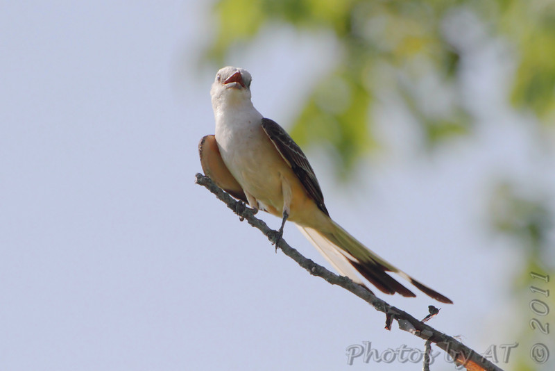 Scissor-tailed Flycatcher <br /> Hwy N and 40 St. Charles County
