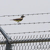 Western Kingbird <br /> Curve at intersection of Fee Fee and Gist Roads