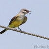 Western Kingbird <br /> Next to sub-station 1/4 mile south <br /> of McDonnell Blvd on Fee Fee Road