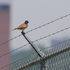 American Kestrel  <br /> Curve at intersection of Fee Fee and Gist Roads
