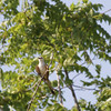 "Scissor-tailed Flycatcher <br> Hwy N just north of Hwy 40/64 <br> St. Charles County <br><br><span class=""noShowSmart""> <a href=""/MyKeywords/Bird-Videos/n-gF9bt/i-tGbtZvG/A""> <span style=""color:yellow"">Click here to open video in lightbox/full screen</span></a> </span>  <span class=""noShowGallery""> <a href=""/Birds/Birding-2011-July/2011-07-02-Flycatchers/i-tGbtZvG/A""> <span style=""color:yellow"">Click here to open video in lightbox/full screen</span></a> </span>"