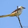 Scissor-tailed Flycatcher <br /> Hwy N just north of Hwy 40/64 in St. Charles County