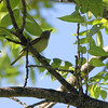 Vireo sp. <br /> In hickory tree with Scissor-tailed Flycatcher nest <br /> Hwy N just north of Hwy 40/64 in St. Charles County