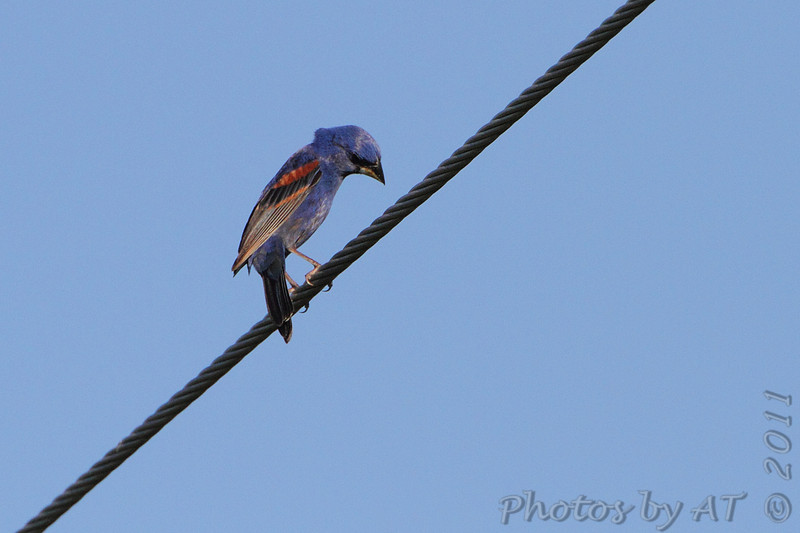 Blue Grosbeak <br /> Feise Commercial Drive