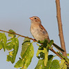 Field Sparrow <br /> Feise Commercial Drive