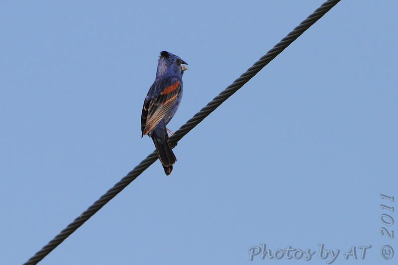 Blue Grosbeak <br /> Feise Commercial Drive