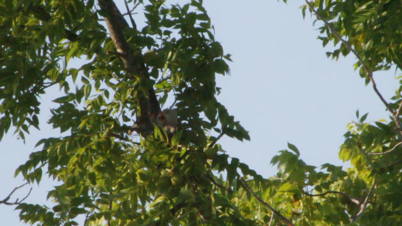 """Scissor-tailed Flycatcher nest  <br> Four babies can be seen in this video <br> Hwy N just north of Hwy 40/64 in St. Charles County  <br><br><span class=""""noShowSmart""""> <a href=""""/MyKeywords/Bird-Videos/n-gF9bt/i-gfVfRWL/A""""> <span style=""""color:yellow"""">Click here to open video in lightbox/full screen</span></a> </span>  <span class=""""noShowGallery""""> <a href=""""/Birds/Birding-2011-July/2011-07-05-St-Charles-Co/i-gfVfRWL/A""""> <span style=""""color:yellow"""">Click here to open video in lightbox/full screen</span></a> </span>"""