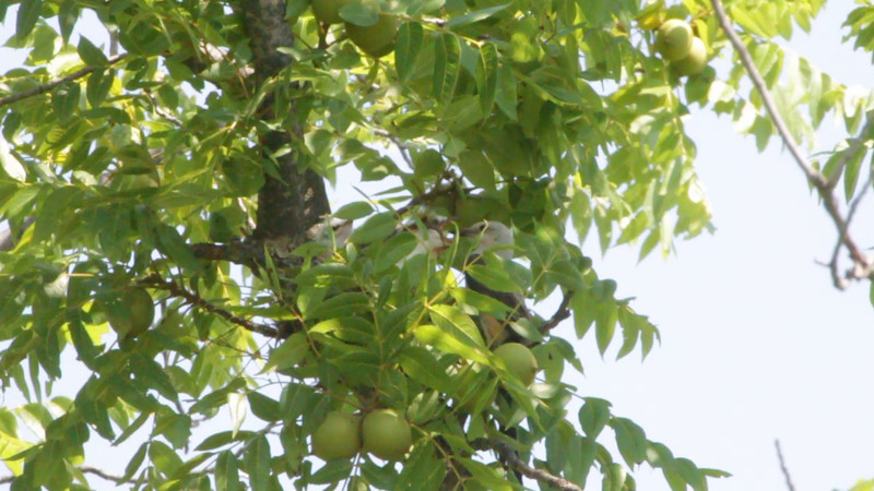 """Scissor-tailed Flycatcher <br> If you look close you'll see four babies <br> Hwy N just north of Hwy 40/64 <br> St. Charles County <br><br><span class=""""noShowSmart""""> <a href=""""/MyKeywords/Bird-Videos/n-gF9bt/i-6BTmQRv/A""""> <span style=""""color:yellow"""">Click here to open video in lightbox/full screen</span></a> </span>  <span class=""""noShowGallery""""> <a href=""""/Birds/Birding-2011-July/2011-07-08-St-Charles-Co/i-6BTmQRv/A""""> <span style=""""color:yellow"""">Click here to open video in lightbox/full screen</span></a> </span>"""