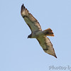 Red-tailed Hawk  <br /> Hwy N just north of Hwy 40/64 <br /> St. Charles County