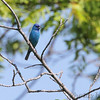 Indigo Bunting <br /> Hwy N just north of Hwy 40/64 <br /> St. Charles County