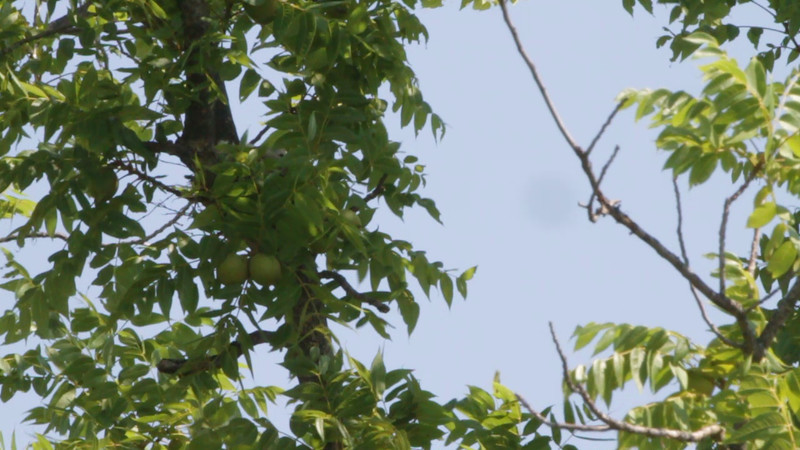 "Scissor-tailed Flycatcher <br> Hwy N just north of Hwy 40/64 <br> St. Charles County  <br><br><span class=""noShowSmart""> <a href=""/MyKeywords/Bird-Videos/n-gF9bt/i-krc9SsB/A""> <span style=""color:yellow"">Click here to open video in lightbox/full screen</span></a> </span>  <span class=""noShowGallery""> <a href=""/Birds/Birding-2011-July/2011-07-08-St-Charles-Co/i-krc9SsB/A""> <span style=""color:yellow"">Click here to open video in lightbox/full screen</span></a> </span>"