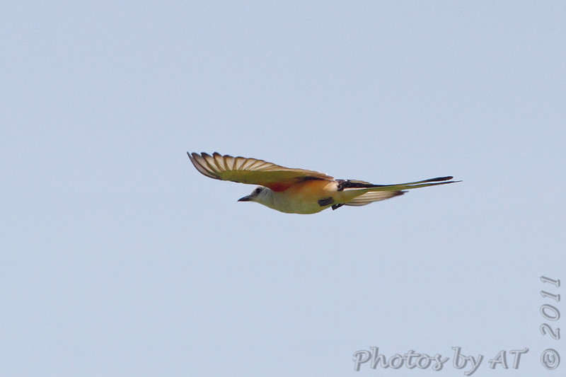 Scissor-tailed Flycatcher <br /> Hwy N just north of Hwy 40/64 <br /> St. Charles County