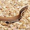 Cottonmouth <br /> Pearl River State Wildlife Management Area <br /> Ross R. Barnett Reservoir <br /> Mississippi