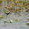 Purple Gallinule <br /> Pearl River State Wildlife Management Area <br /> Ross R. Barnett Reservoir <br /> Mississippi