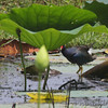 Purple Gallinule <br /> Pearl River State Wildlife Management Area <br /> Ross R. Barnett Reservoir <br /> Mississippi
