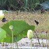 Purple Gallinule or Common Moorhen fuzzball?<br /> Pearl River State Wildlife Management Area <br /> Ross R. Barnett Reservoir <br /> Mississippi