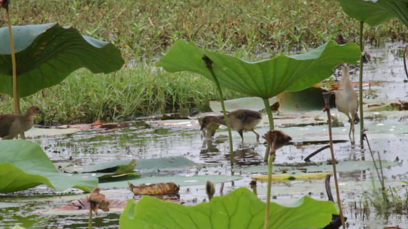 "Juvenile Purple Gallinule <br> Pearl River State Wildlife Management Area <br> Ross R. Barnett Reservoir <br> Mississippi <br><br><span class=""noShowSmart""> <a href=""/MyKeywords/Bird-Videos/n-gF9bt/i-dhmFFfv/A""> <span style=""color:yellow"">Click here to open video in lightbox/full screen</span></a> </span>  <span class=""noShowGallery""> <a href=""/Birds/2011-Birding/Birding-2011-July/2011-07-16-17-Mississippi/i-dhmFFfv/A""> <span style=""color:yellow"">Click here to open video in lightbox/full screen</span></a> </span>"