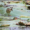 Juvenile Purple Gallinule <br /> Pearl River State Wildlife Management Area <br /> Ross R. Barnett Reservoir <br /> Mississippi