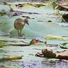 Juvenile Purple Gallinule <br /> Pearl River State Wildlife Management Area <br /> Ross R. Barnett Reservoir <br /> Mississippi