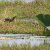 Green Heron <br /> Pearl River State Wildlife Management Area <br /> Ross R. Barnett Reservoir <br /> Mississippi