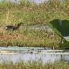 Green Heron <br /> Pearl River State Wildlife Management Area <br /> Ross R. Barnett Reservoir <br /> Mississippi