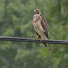 Red-shouldered Hawk <br /> below Ross R. Barnett Reservoir dam <br /> Mississippi