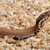 Cottonmouth <br /> Pearl River State Wildlife Management Area <br /> Ross R. Barnett Reservoir <br /> Mississippi