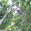 Blue Grosbeak <br /> Turcotte Education and Shooting Center <br /> Mississippi