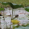 """Juvenile Purple Gallinule <br> Pearl River State Wildlife Management Area <br> Ross R. Barnett Reservoir <br> Mississippi <br><br><span class=""""noShowSmart""""> <a href=""""/MyKeywords/Bird-Videos/n-gF9bt/i-vJWjcwQ/A""""> <span style=""""color:yellow"""">Click here to open video in lightbox/full screen</span></a> </span>  <span class=""""noShowGallery""""> <a href=""""/Birds/2011-Birding/Birding-2011-July/2011-07-16-17-Mississippi/i-vJWjcwQ/A""""> <span style=""""color:yellow"""">Click here to open video in lightbox/full screen</span></a> </span>"""