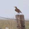 Western Meadowlark <br /> Pawnee National Grassland <br /> North Eastern Colorado