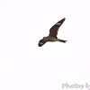 Common Nighthawk <br /> Pawnee National Grassland <br /> North Eastern Colorado