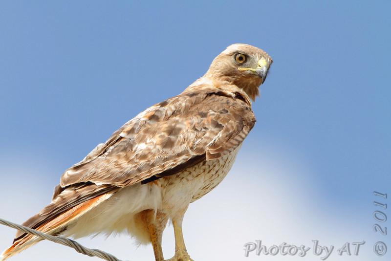 Red-tailed Hawk <br /> Pawnee National Grassland <br /> Colorado