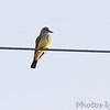Western Kingbird <br /> Pawnee National Grassland <br /> North Eastern Colorado