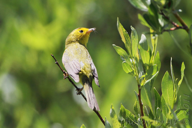 Wilson's Warbler <br /> Rocky Mountain National Park <br /> Colorado