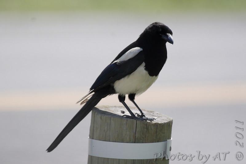 Black-billed Magpie <br /> Rocky Mountain National Park <br /> Colorado