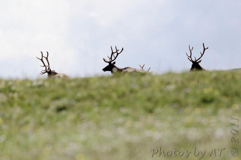 Elk <br /> Rocky Mountain National Park <br /> Colorado