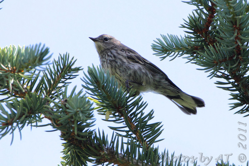 Yellow-rumped Warbler (Audubon's)<br /> Golden Gate Canyon State Park <br /> Colorado