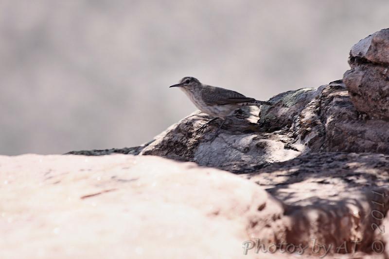 Rock Wren <br /> Colorado National Monument