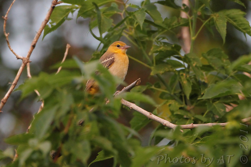 Bullock's Oriole ? <br /> Lair O' the Bear Park <br /> Colorado