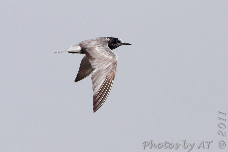 Black Tern <br /> Cheyenne Bottoms Wildlife Area <br /> Kansas