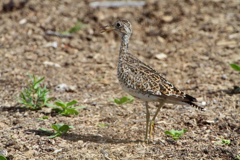 Upland Sandpiper <br /> Cheyenne Bottoms Wildlife Area <br /> Kansas