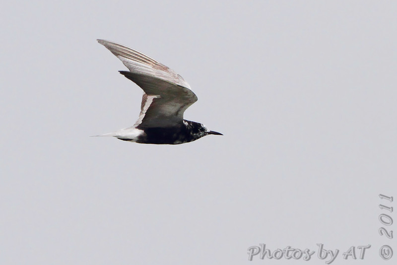 Black Tern <br /> Cheyenne Bottoms Wildlife Area <br /> Kansas