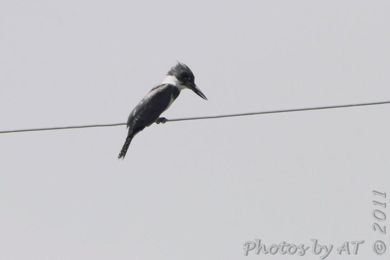 Belted Kingfisher <br /> Cheyenne Bottoms Wildlife Area <br /> Kansas